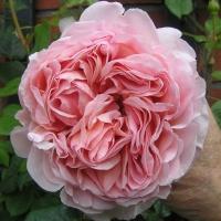 Английские кустовые розы