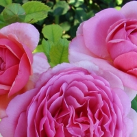 MARY ROSE (Мэри Роуз)