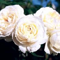 MON JARDIN & MA MAISON (Мон Жардан Э Ма Мейзон) Плетистые крупноцветковые розы