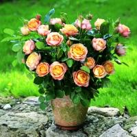 Бордюрные,спрей-розы,почвопокровные, Мускусные гибриды