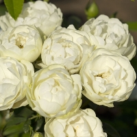 Уайт Мосдаг (White Morsdag)