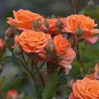 Оранж Бэбби (спрей роза)