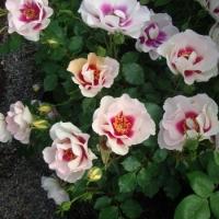 Шрабы,плетистые розы,клаймберы