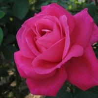 Vien Rose, Giraldo (Вин Роуз)