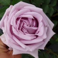 INDIGOLETTA (Индиголетта) Плетистые крупноцветковые розы
