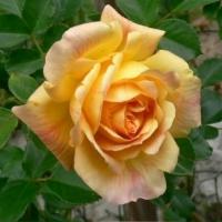 Michka (Мишка) Плетистые крупноцветковые розы