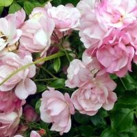 Эппл Блоссом (Apple Blossom) Яблоневый цвет