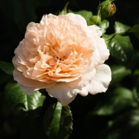 ROSE DE TOLBIAC (Роз Дэ Толбиак)